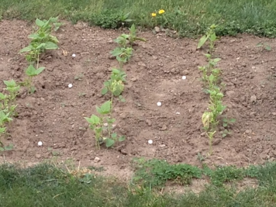 green bean rows.jpg