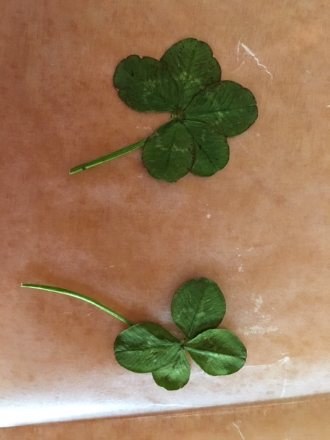 4and5leafclovers